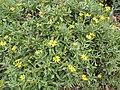 Starr-120504-5529-Melanthera lavarum-habit-Maui Nui Botanical Garden-Maui (25115866196).jpg