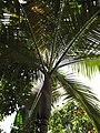 Starr-120522-5989-Archontophoenix purpurea-sheath and leaves-Iao Tropical Gardens of Maui-Maui (25143007315).jpg