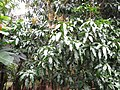 Starr-130312-2214-Mangifera indica-Keitt flowering habit-Pali o Waipio Huelo-Maui (24839268389).jpg