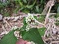 Starr-130316-2540-Fagopyrum esculentum-flowers and leaves-Huelo-Maui (24576886554).jpg