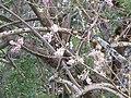 Starr-130320-3523-Gliricidia sepium-flowers-Anini Beach-Kauai (25209304945).jpg