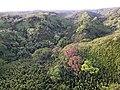 Starr-141014-2187-Caesalpinia decapetala-aerial view-Kakipi Gulch Haiku-Maui (24616557064).jpg
