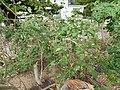 Starr-150329-0120-Solanum torvum-flowering fruiting habit-Community Garden Sand Island-Midway Atoll (24902441129).jpg