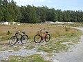Starr-150331-0901-Cyperus polystachyos-habit and bikes-Runway Overrun Sand Island-Midway Atoll (24976030260).jpg