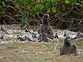 Starr-150402-0836-Brassica juncea-Ruddy Turnstones and Laysan Albatrosses-East Eastern Island-Midway Atoll (25180969131).jpg