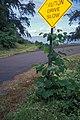 Starr-990810-1055-Pueraria montana var lobata-on sign-Keanae-Maui (24160118919).jpg