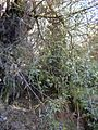 Starr 020221-0048 Rubus glaucus.jpg