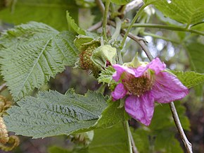 Description de l'image Starr 030419-0032 Rubus hawaiensis.jpg.
