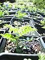 Starr 040405-0209 Osteomeles anthyllidifolia.jpg