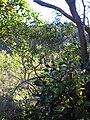 Starr 041219-1578 Acacia koaia.jpg