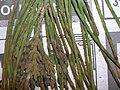 Starr 050427-0893 Casuarina equisetifolia.jpg
