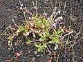 Starr 051005-4720 Erodium cicutarium.jpg