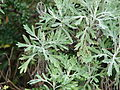 Starr 070208-4350 Artemisia australis.jpg