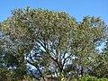 Starr 070306-5098 Syzygium cumini.jpg