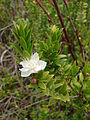 Starr 070621-7506 Myrtus communis.jpg