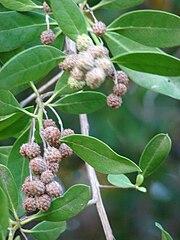 180px-Starr_070727-7618_Conocarpus_erectus.jpg