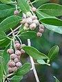 Starr 070727-7618 Conocarpus erectus.jpg