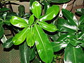 Starr 070906-9078 Philodendron sp..jpg