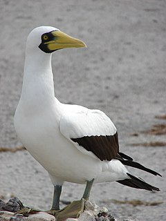 Masked booby Species of bird