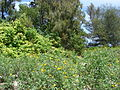 Starr 080608-7622 Hibiscus tiliaceus.jpg