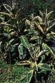 Starr 980529-4238 Ficus elastica.jpg