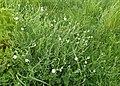 Stellaria palustris kz06.jpg