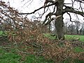 Storm damaged oak - geograph.org.uk - 101411.jpg