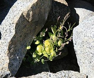 <i>Streptanthus tortuosus</i> species of plant