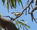 Striated Pardalote. Pardalotus striatus ( S.E. form) - Flickr - gailhampshire (1).jpg
