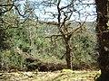 Strontian Glen oakwood - geograph.org.uk - 440954.jpg