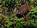 Stumpffia sp., Marojejy, Madagascar (4023091420).jpg