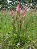 Stylidium graminifolium plant7 - Flickr - Macleay Grass Man.jpg