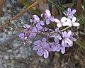 Stylidium violaceum (mutant) 2.jpg