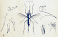 Stylogaster (from PZSL1850PlateAnnulosa19).png