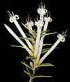 Styphelia tenuifolia - Flickr - Kevin Thiele.jpg