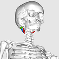 Suboccipital muscles08.png