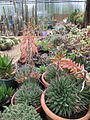 Succulents (7161397192).jpg