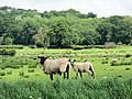 Suffolk ewe with lamb (and passenger) - geograph.org.uk - 451288.jpg