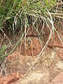 Suikerbosrand-Agama atra-001.jpg