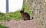 Sumburgh Head bunny IMG 0488 (14477297446).jpg