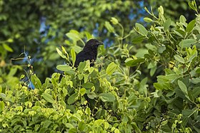 Sunda Coucal - Muara Angke - West Java MG 5960 (29208985764).jpg