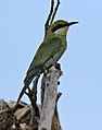 Swallow-tailed bee-eater, Merops hirundineus, at Elephant Sands Lodge, Botswana (31445019224).jpg