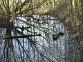 Swampy ground in Colwick Hall Woods. - geograph.org.uk - 652793.jpg
