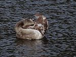 File:Swan bathing 101857781.jpg