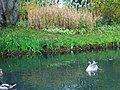 Swan in is little paradise, - Le cygne en admiration ... - panoramio.jpg
