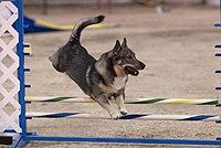 Норботтенская лайка фото, фото собак породы...