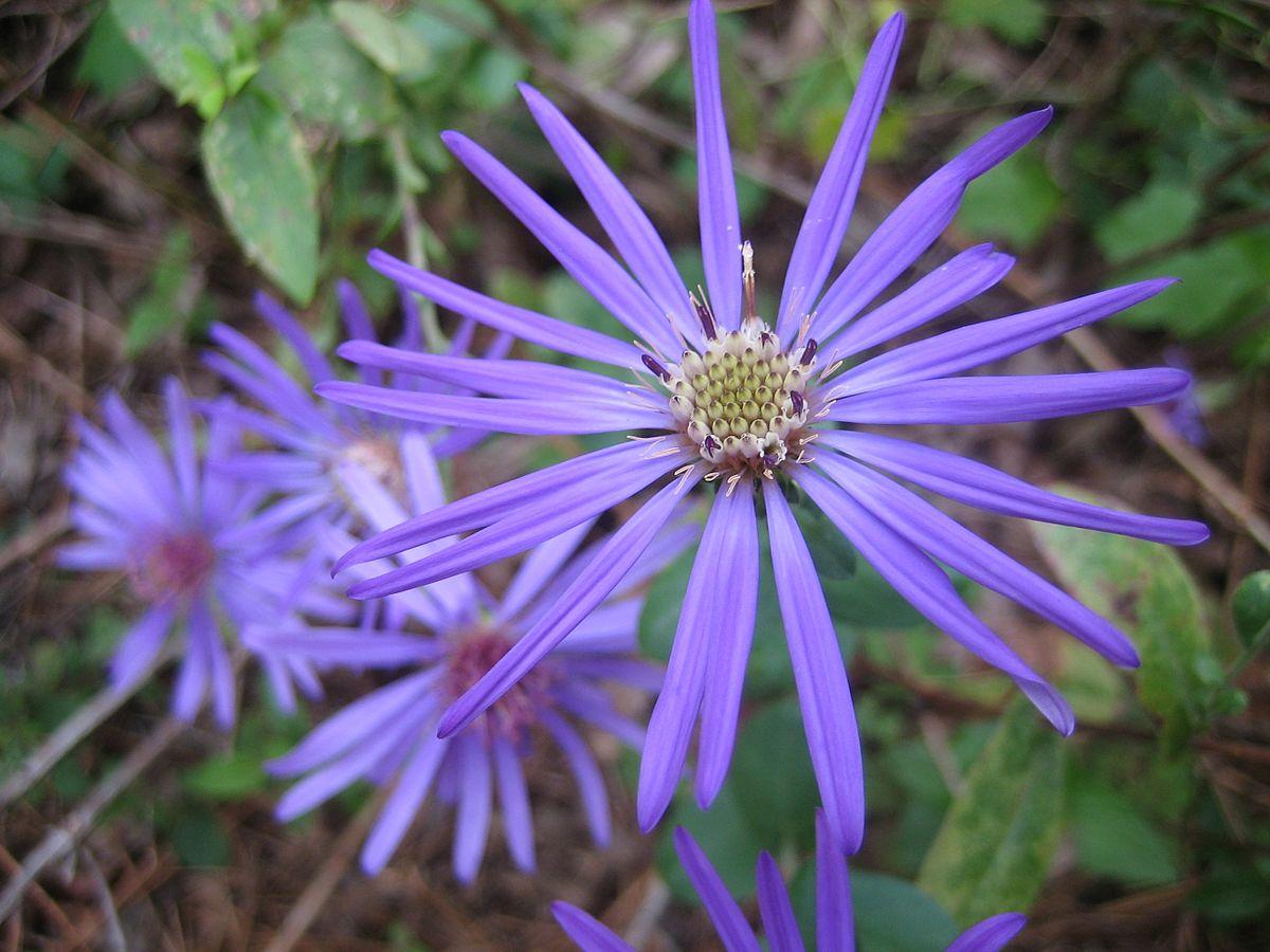 Symphyotrichum Georgianum Wikipedia