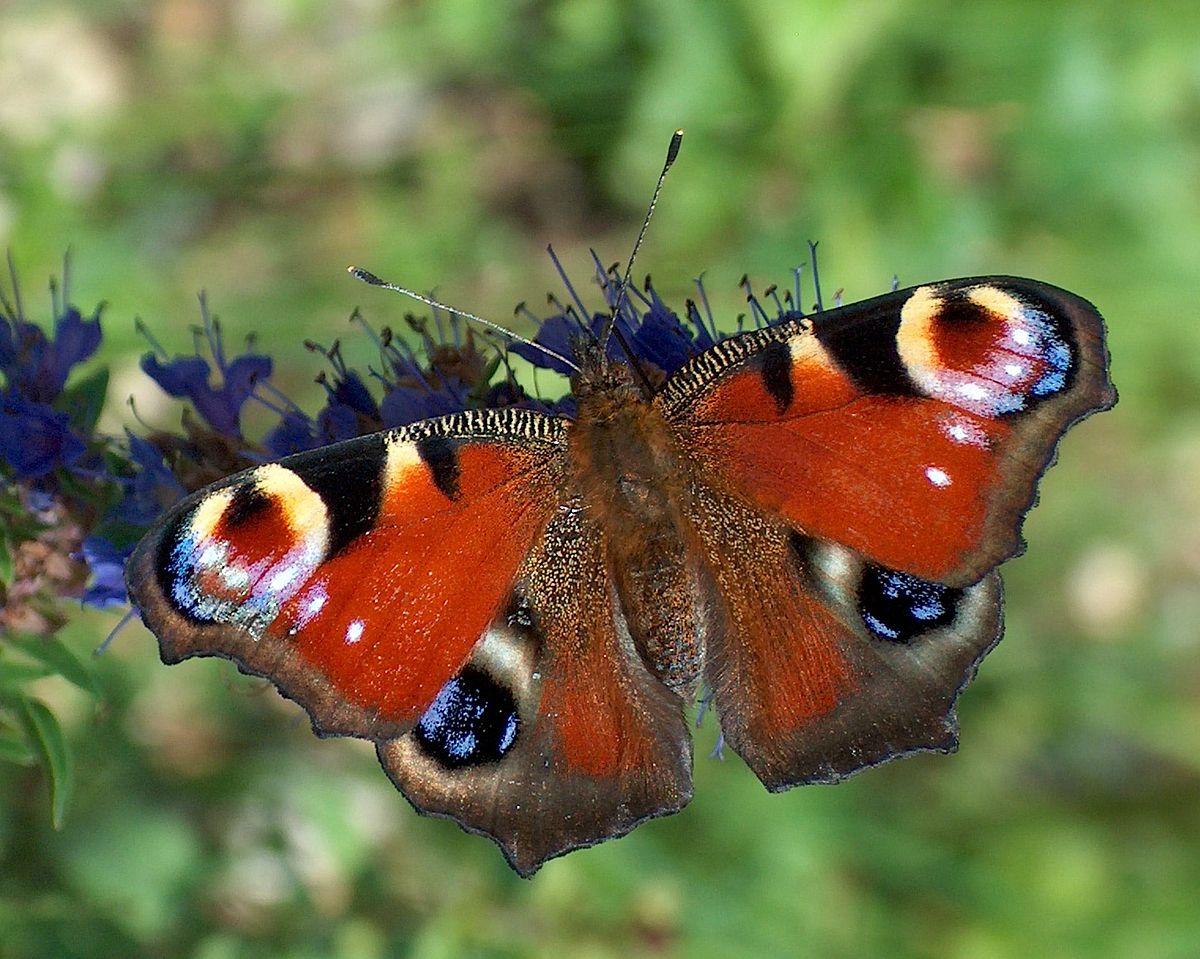 Výsledok vyhľadávania obrázkov pre dopyt motýl