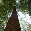 Tall tree in California.jpg
