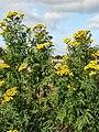 Tansies (Tanacetum vulgare) - geograph.org.uk - 542104.jpg